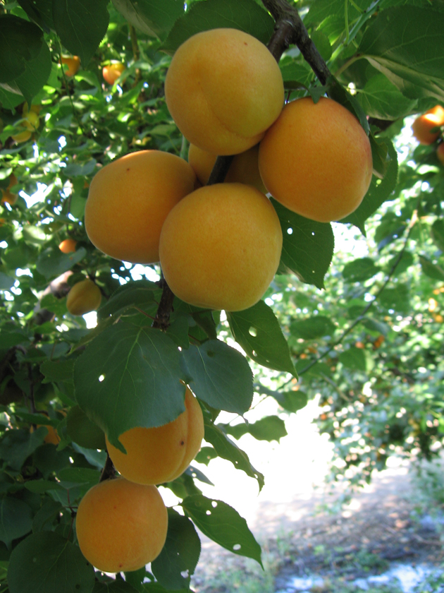 fresh fruits photos-Apricot fruits