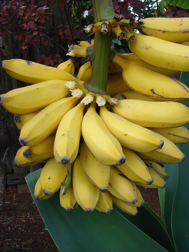 fresh fruits photos-Banana