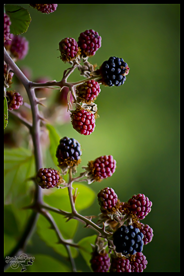 fresh fruits photos-blackberries