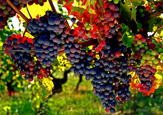 fresh fruits photos-grapes