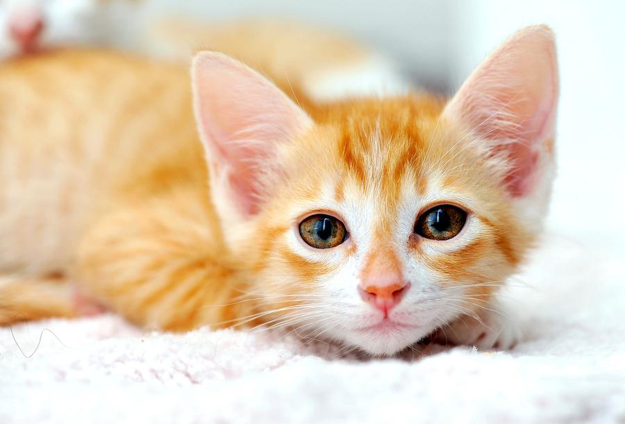 Vietnamese Kitten by Josh Norem