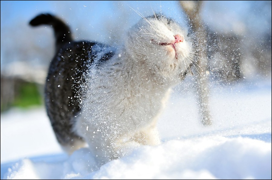snow cat by Nikolay Sotskov