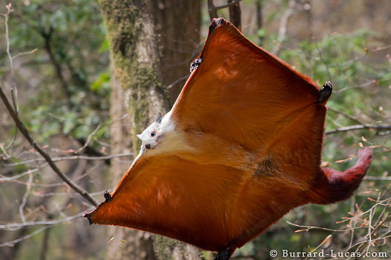 Giant Flying Squirrel by Will Burrard-Lucas - China