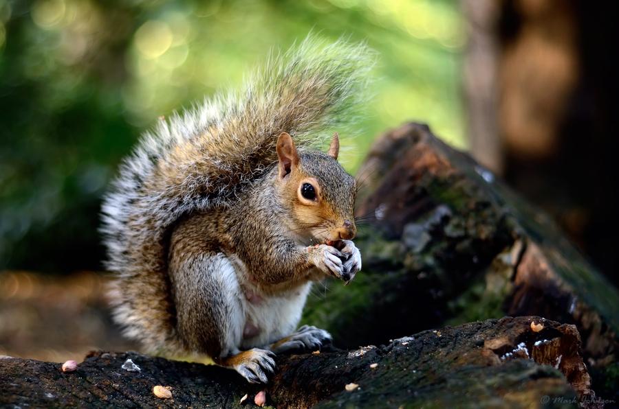 Grey Squirrel by Mark Johnson