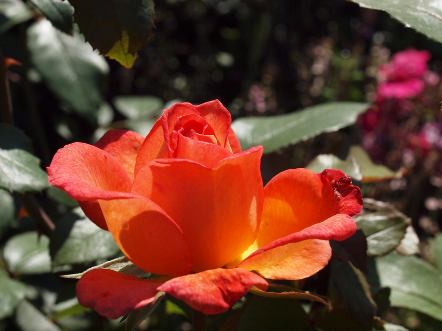 Orange-Rose-by-Janis-Fehrmann
