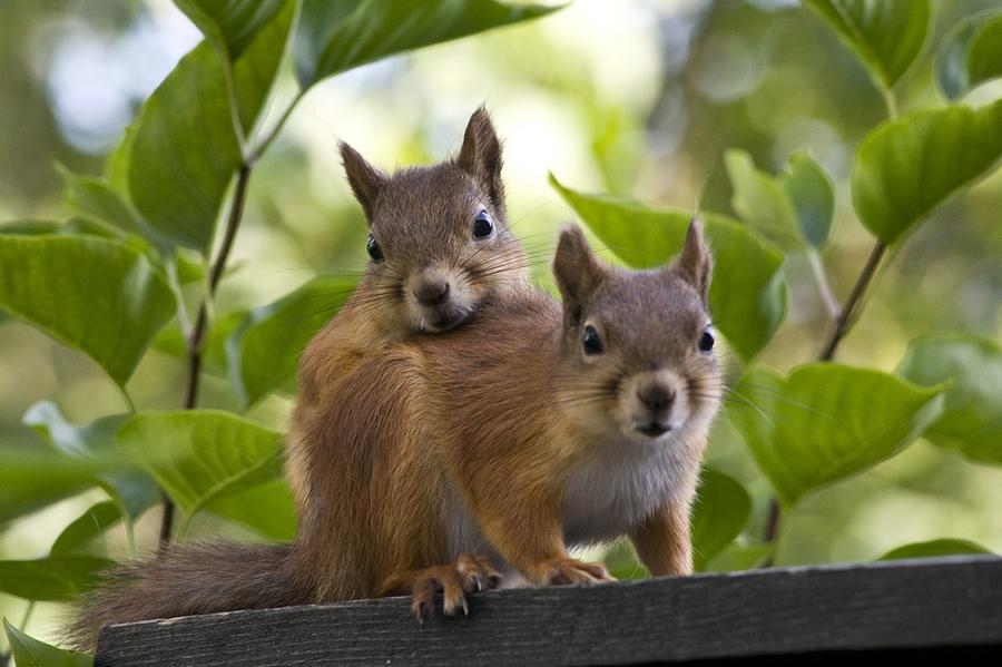 Squirrel Love by Harri Väyrynen - finland