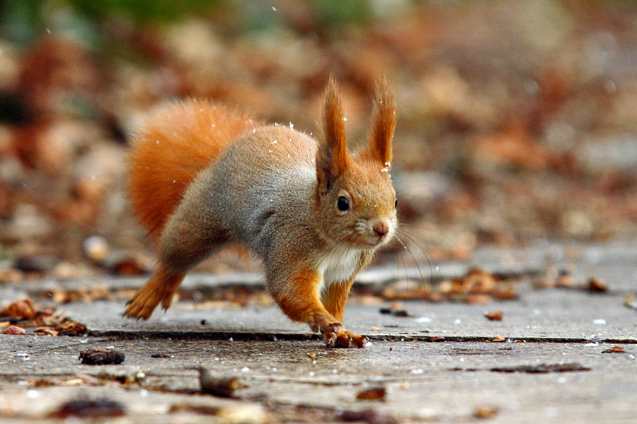 Squirrel by Imre Der