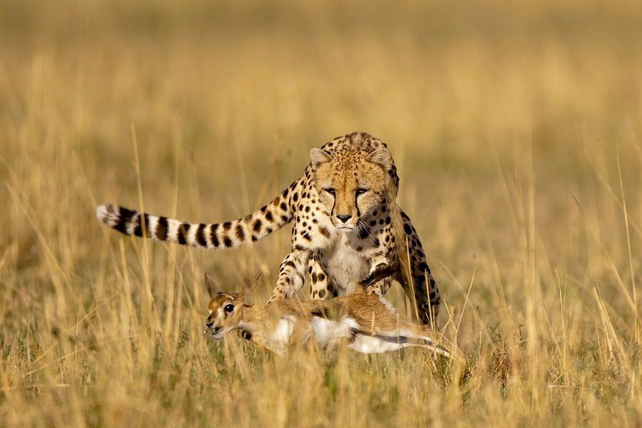 Cheetah Hunt by Paul Souders WorldFoto