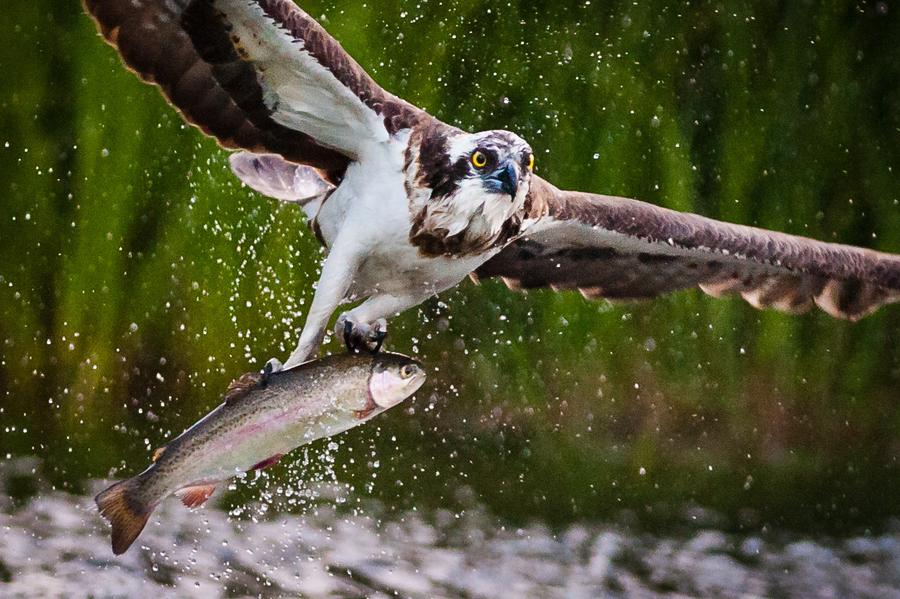 Hunting Osprey by Mika Linho