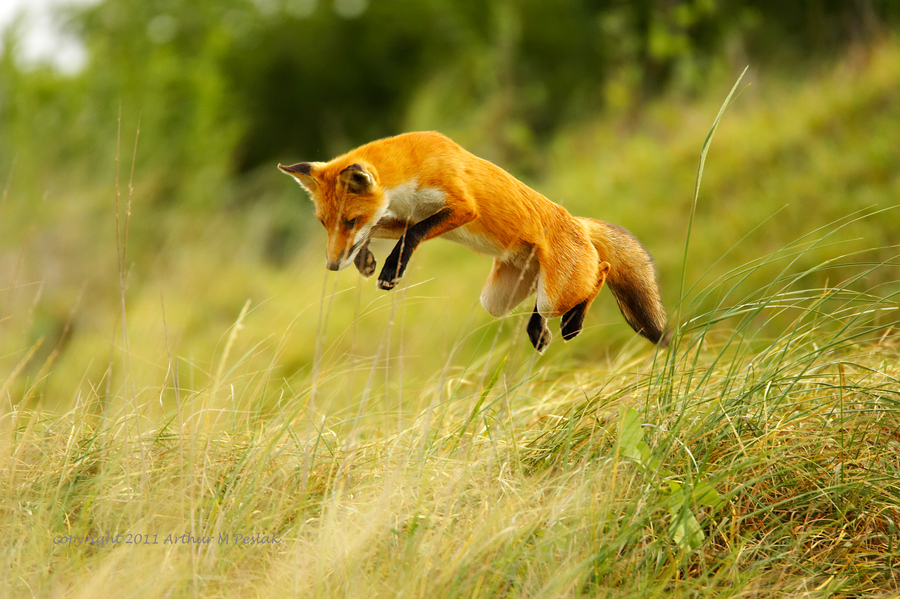 Red Fox hunting a rabbit by Art Peslak
