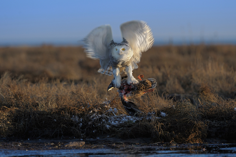 Snowy owl hunting by Norman Ng