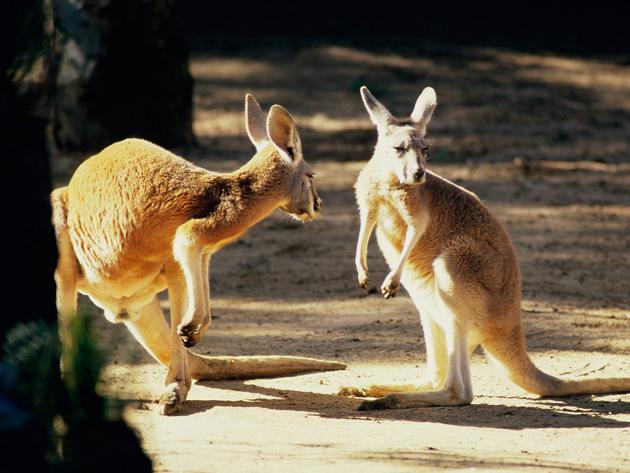 Kangaroo_Conversation,_Australia