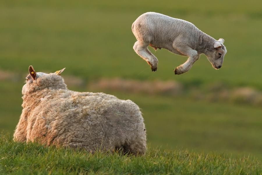 Levitating Lamb by Roeselien Raimond