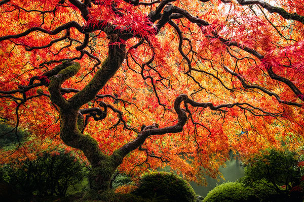 Japanese Maple by Nader B