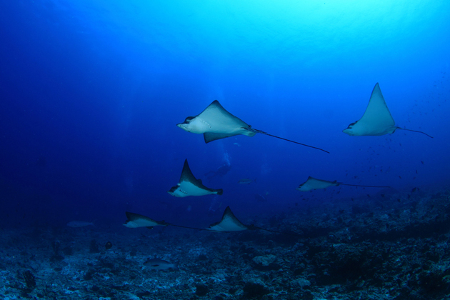 Spotted Eagle Rays  by Eugene Lim