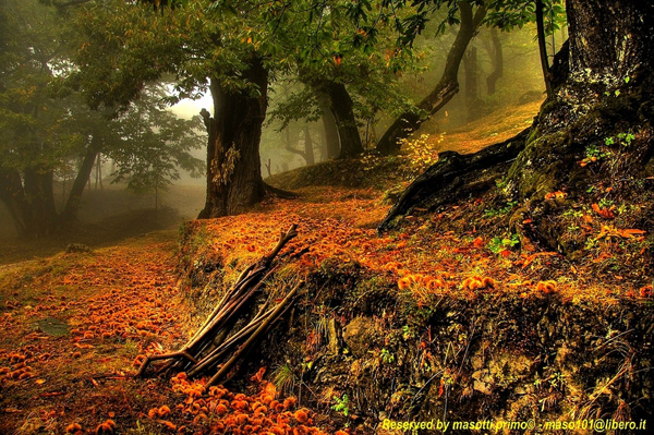 The ancient woods of chestnuts in autumn morning