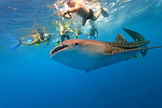 whale-sharks