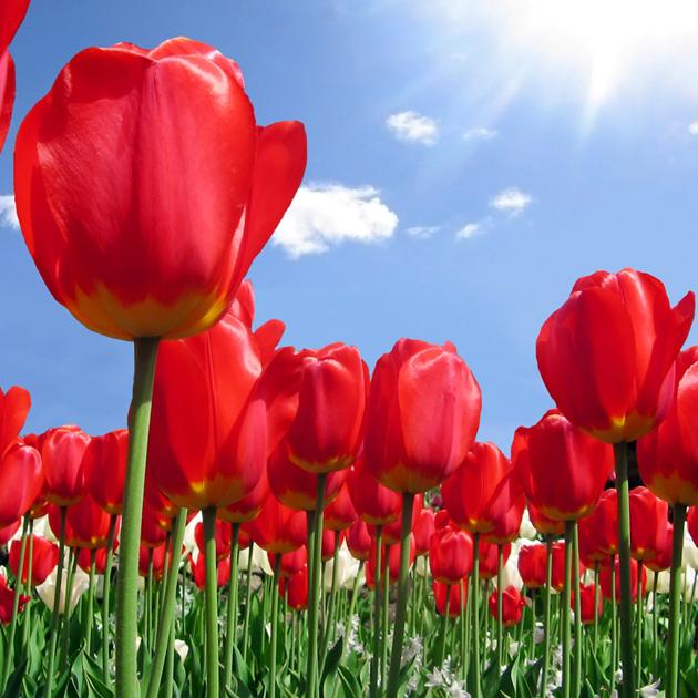 Stunning tulip photography (11)