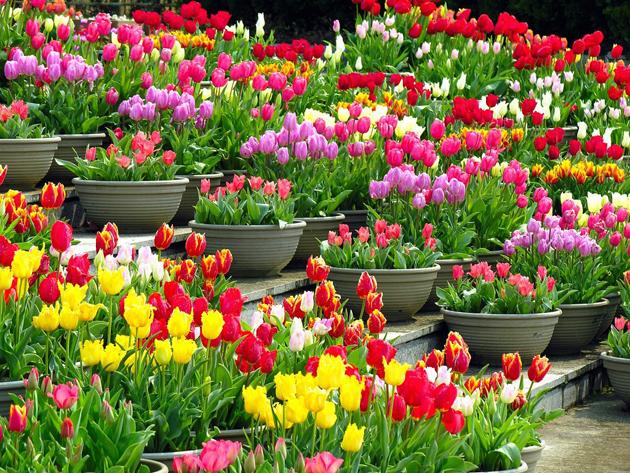 Stunning tulip photography (13)