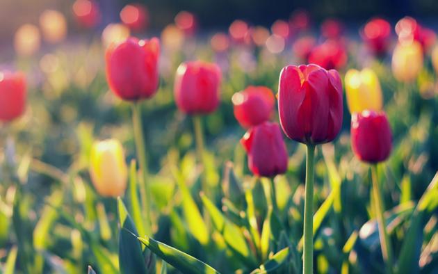 Stunning tulip photography (17)