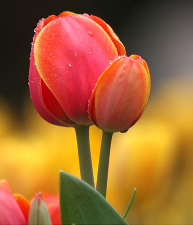 Stunning tulip photography (19)