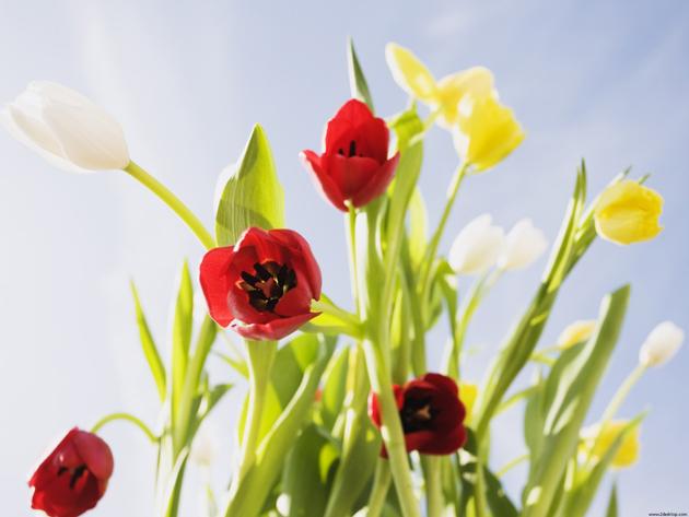 Stunning tulip photography (2)