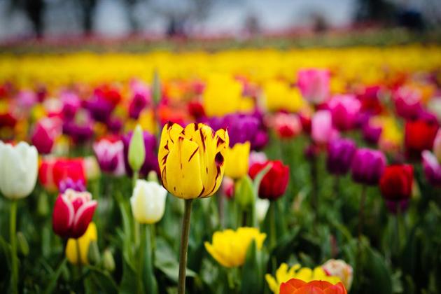 Stunning tulip photography (20)