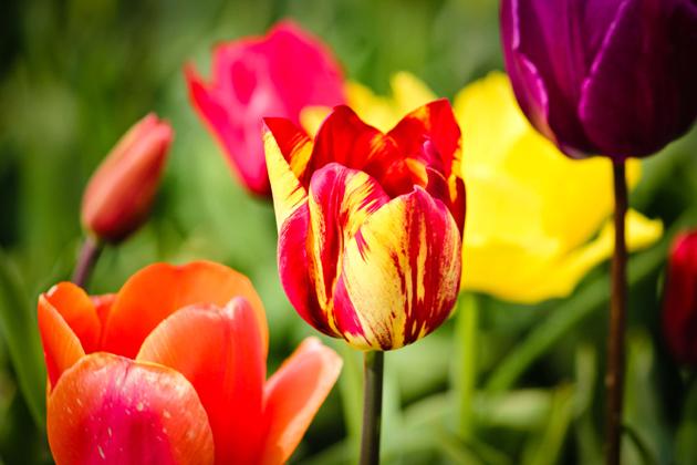 Stunning tulip photography (21)