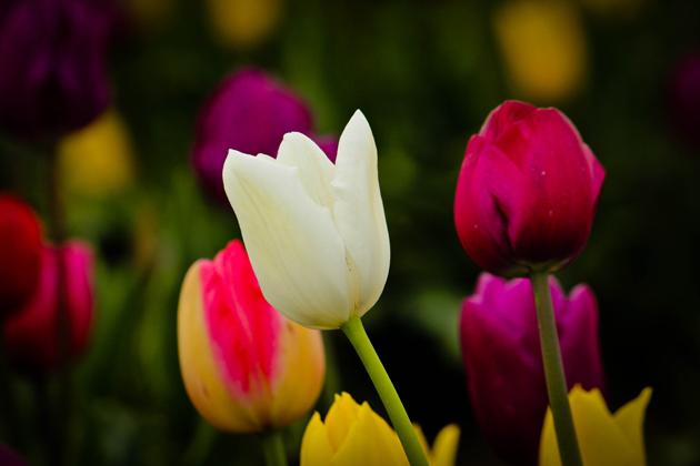 Stunning tulip photography (24)