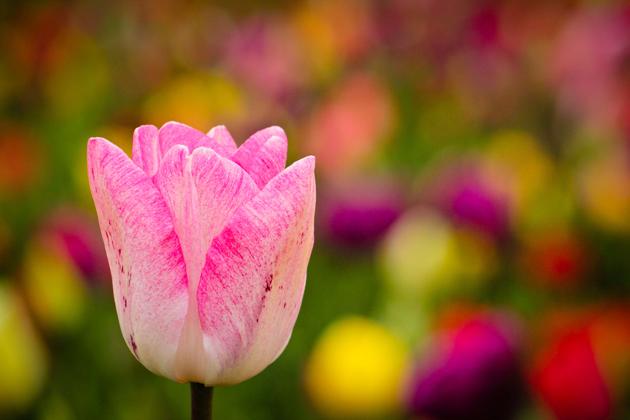 Stunning tulip photography (26)