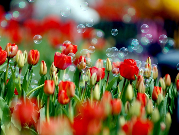 Stunning tulip photography (27)