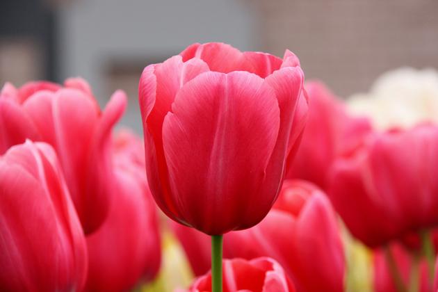 Stunning tulip photography (6)