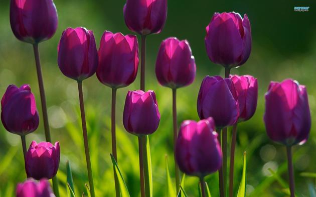 Stunning tulip photography (7)