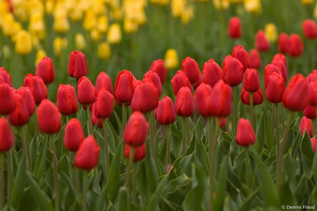 Stunning tulip photography (8)