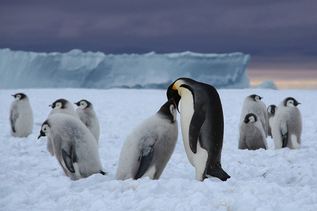 beautiful penguin photography (11)