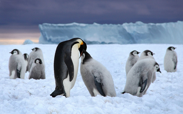 beautiful penguin photography (17)