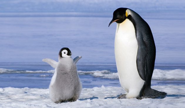 beautiful penguin photography (19)