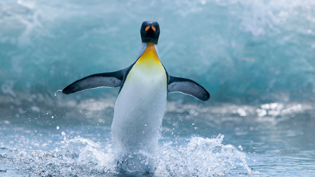beautiful penguin photography (23)