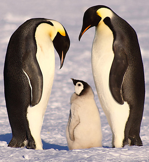 beautiful penguin photography (25)