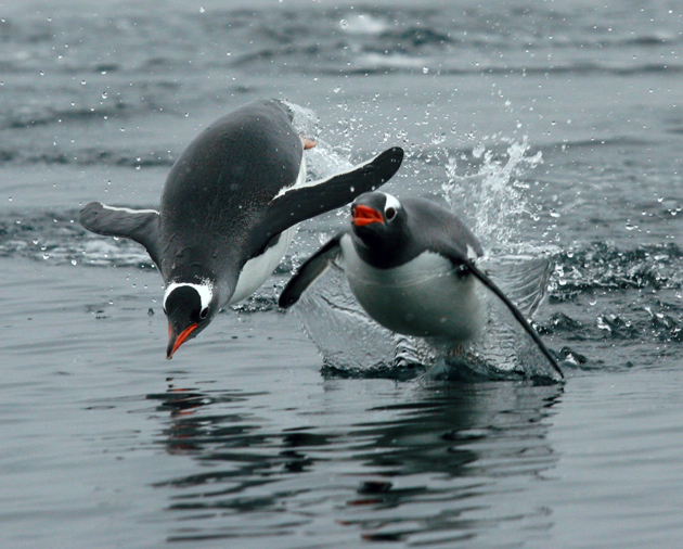 beautiful penguin photography (26)