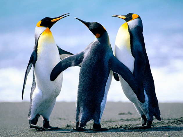 beautiful penguin photography (27)