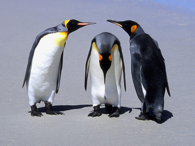 beautiful penguin photography (4)