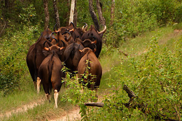 Wildlife+Photography+-+Gaur+Herd+walking