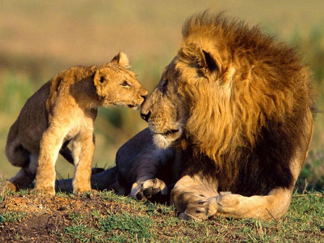 baby-animals-animal-african-wildlife-lions-photography-are-130381