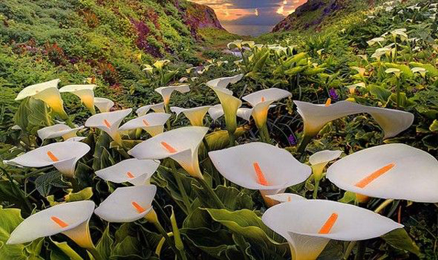 Calla Lily Valley, the Valley of the Lilies