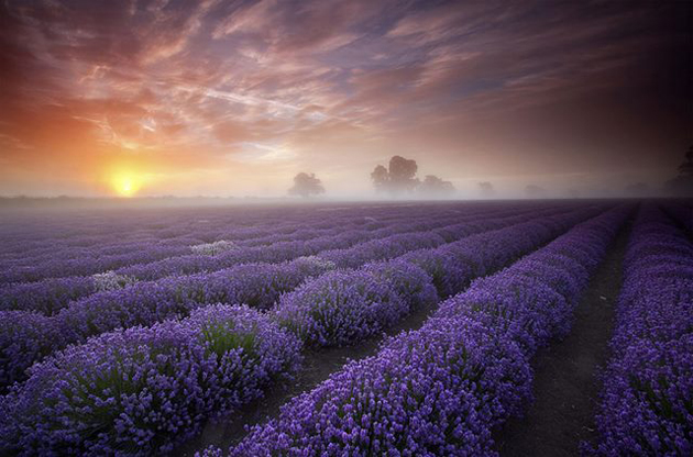 Lavender-Fields-UK-and-France