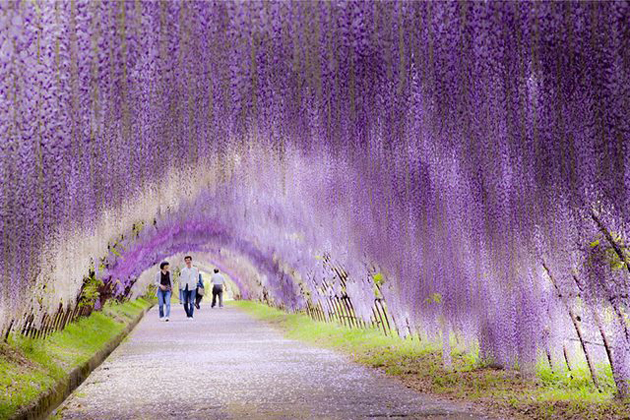 Wisteria-Flower-Tunnel-in-Japan-2