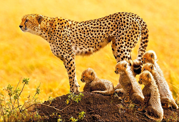 african-cheetah-family by stephen oachs