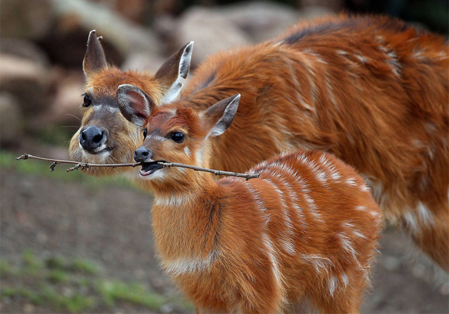 baby-antelope-playing-with-stick