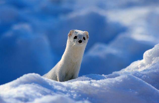 cute-white-weasel
